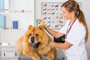 Veterinarian Applying Tick Medication