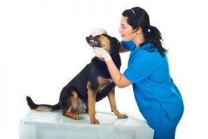 Examining dog mouth and teeth.