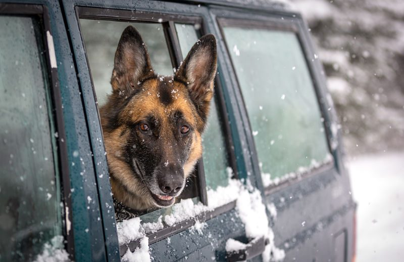 German Shepherd Dog with its head out the window of a sport utility vehicle in the snow
